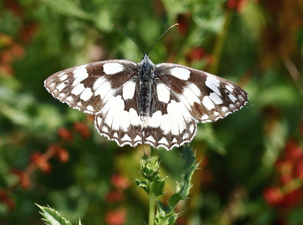 Marbled White by bluetitblue