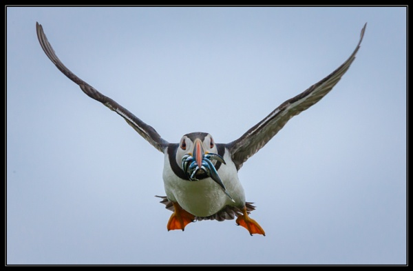 Head on Puffin by mjparmy