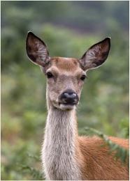 Mrs Deer