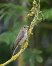 Spotted Flycatcher (Muscicapa striata) by Ray_Seagrove
