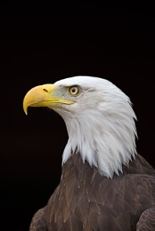 Photo : Bald Eagle