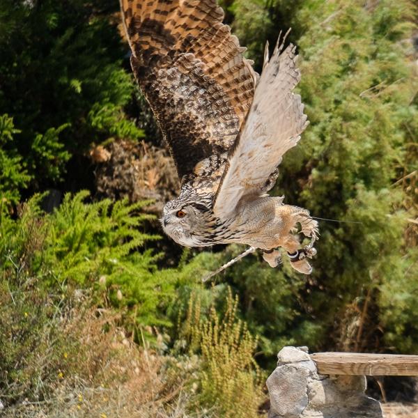 BENALMADENA, ANDALUCIA/SPAIN - JULY 7 : Eurasian Eagle-Owl (Bubo by Phil_Bird