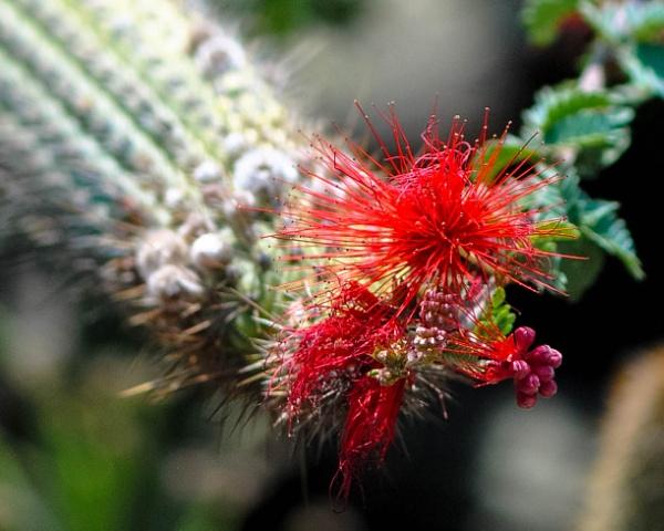 Cactus meets Fairy Duster