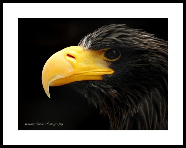 Stellars Sea Eagle. by kathrynlouise