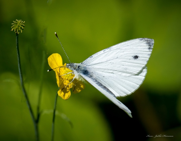 Large white. by kuvailija