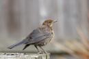 Juvenile Blackbird by ali63