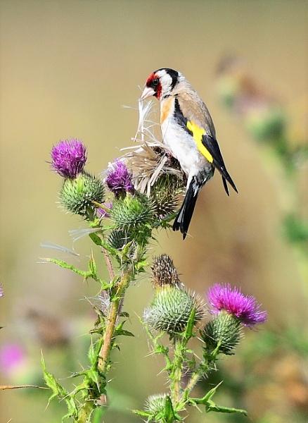 European Goldfinch eating its favorit food