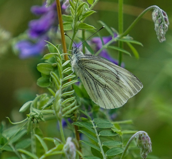 Green Veined White by civitas