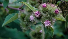 Sticky buds in flower