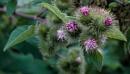 Sticky buds in flower by civitas