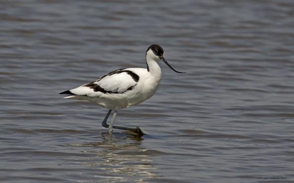 Avocet  (Recurvirostra avosetta) by ade123