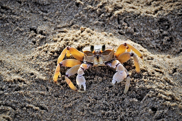 O crab.!! by Coen