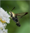 The Hummingbird Moth by taggart