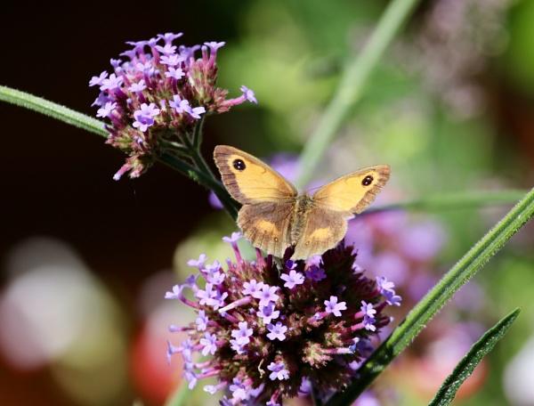Gate Keeper Butterfly by Lencollard