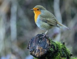 A ringed Robin.