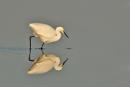Little Egret reflection by bobpaige1
