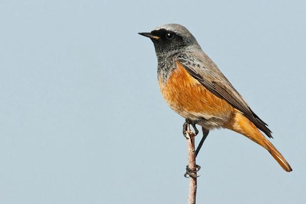 Redstart (M) Phoenicurus phoenicurus by bobpaige1