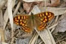 Wall--Lasiommata megera by bobpaige1