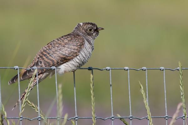 Cuckoo by Wanilson
