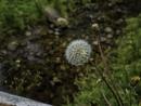 Seed head by BillRookery