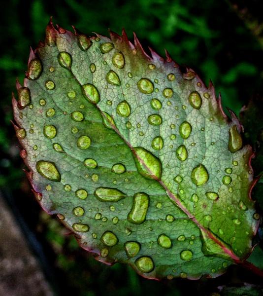 Raindrops on a rose leaf