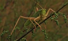 Posing Grasshopper