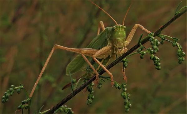 Posing Grasshopper by PentaxBro
