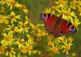 Butterflies Love Yellow