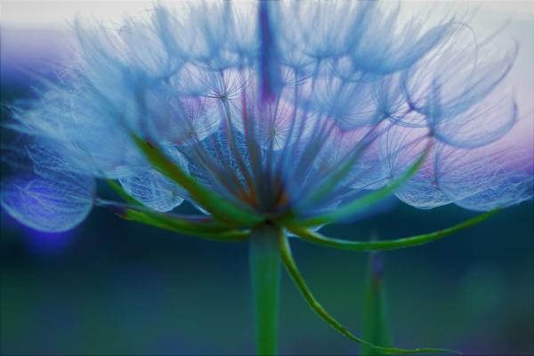 Dandelion Art by PentaxBro