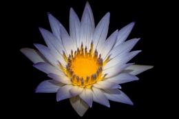 Blue Lotus Blossom