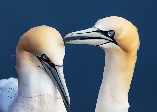 Couple of Northern gannets by 241218