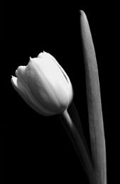 Photo : Tulip
