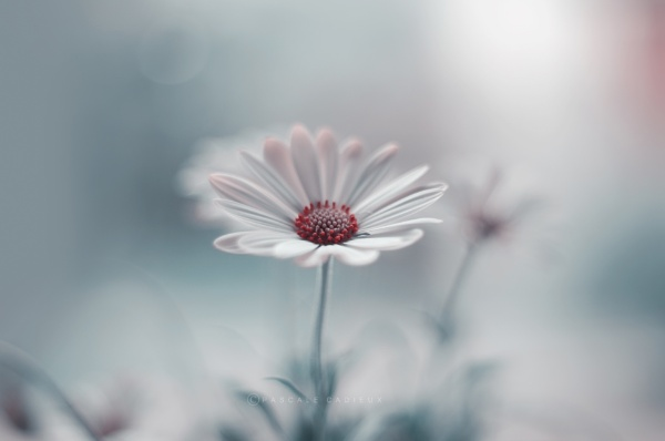 Daisy by Pascale