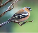 Chaffinch by MalcolmM
