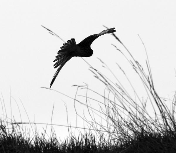 Windhover by oldgreyheron
