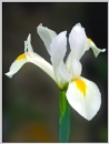 Iris by Sylviwhalley