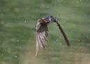 Swallows in Flight by NeilSchofield