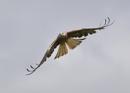 Red Kites in Flight by NeilSchofield
