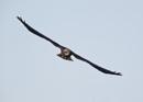 Juvenile Marsh Harrier in Flight by NeilSchofield