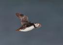 Puffins in Flight by NeilSchofield
