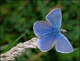 """Common Blue(m)""."