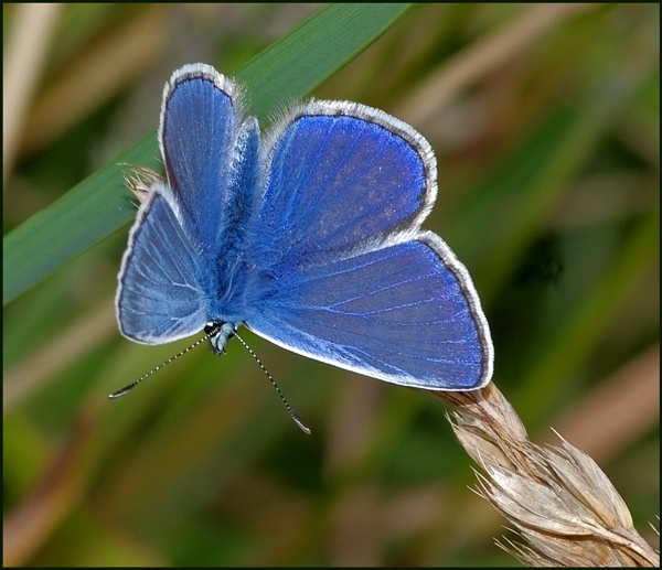 Common Blue(m) Basking.