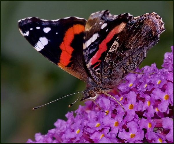 Red Admiral Nectaring on a Buddleia. by Badgerfred