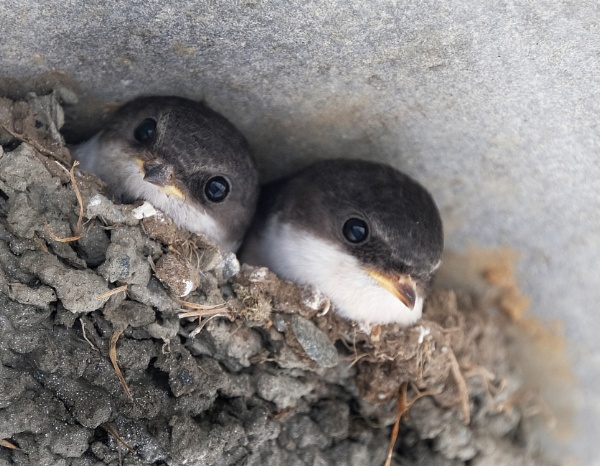House martin Chicks in nest. by paulbroad