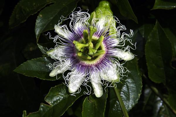 Passion Flower by prabhusinha