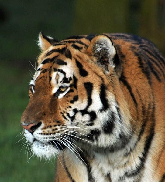 Amur Tiger by peterthowe
