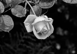 """Photo : """"Rosebud in the Rain"""""""