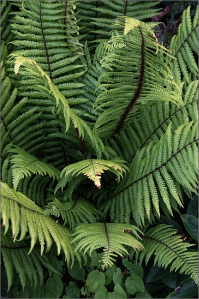 Tree fern by rambler