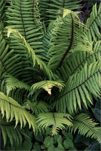 Tree fern by rambler