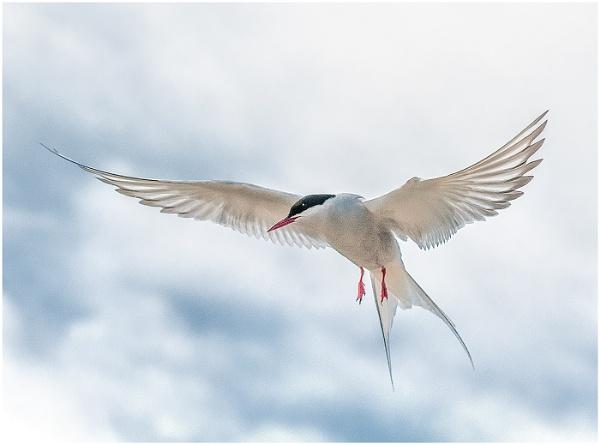 Arctic Tern in Flight by Matt Johnston